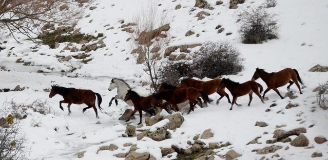 Uşak'ta etkili olan kar yağışının ardından Murat Dağı'nın yüksek kesimlerinde yiyecek bulmakta zorlandıkları için dağın eteklerine inen yılkı at kolonisi AA ekibi tarafından ilk kez görüntülendi. Doğa Koruma ve Milli Parklar ekiplerinin eşliğinde yaklaşık 5 saat süren zorlu yürüyüşün ardından Karakaya mevkinde üç ayrı grup halinde görüntülenen yılkı atları kar örtüsünün altında yiyecek bulmaya çabalıyor