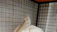 Uşak'ta tedavi edilen pelikan doğaya bırakıldı