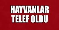 HAYVANLAR TELEF OLDU !
