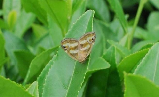 Rize'de Kelebek İstilası Çay Üreticilerini Tedirgin Etti