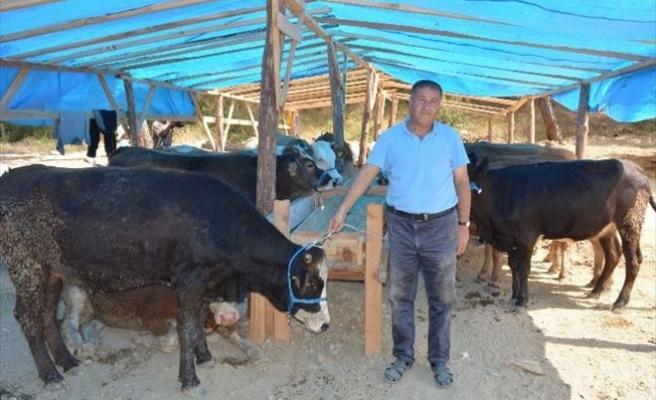 Manavgat'ta Kurbanlıklar Görücüye Çıktı