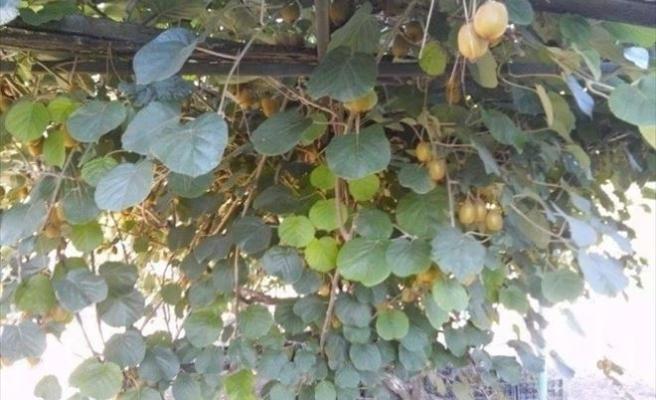 Erbaa'da Kivi Üretimi