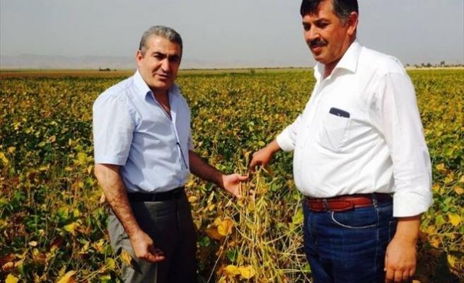 Soya Fasulyesi Çiftçilerin Umudu Oldu