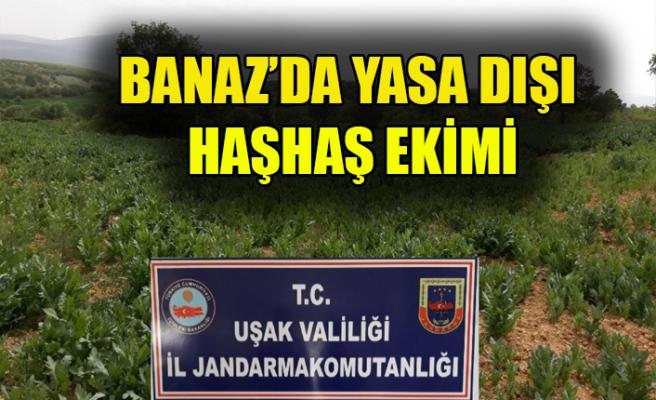 BANAZ'DA YASA DIŞI HAŞHAŞ EKİMİ