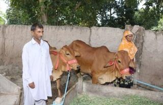 TİKA'nın Desteğiyle Pakistan'da Evde Süt Üretimi...