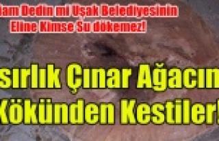 UŞAK BELEDİYESİ ASIRLIK ÇINAR AĞACINI KÖKÜNDEN...