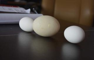 2 Yaşındaki Tavuk 142 Gram Yumurta Yaptı