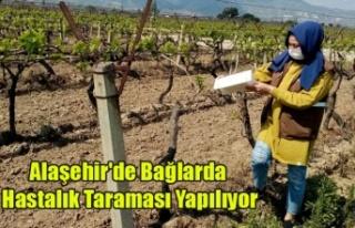 Alaşehir'de Bağlarda Hastalık Taraması Yapılıyor