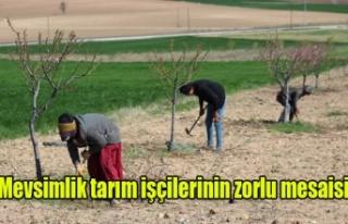 Mevsimlik tarım işçilerinin zorlu mesaisi